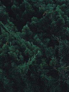 Prunus lusitanica haag